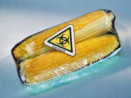 Corn in the cob with genetically modified sticker