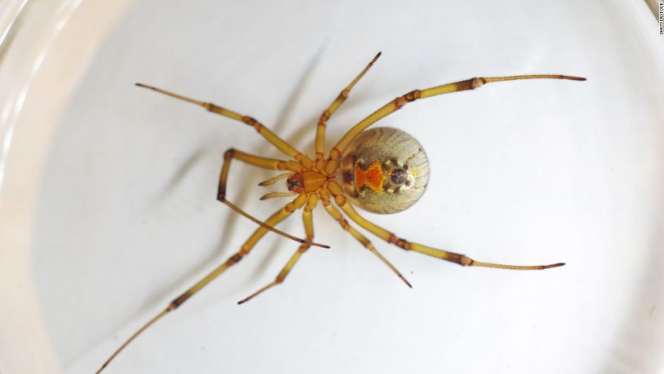 151126163210-03-dangerous-spider-brown-widow-super-169