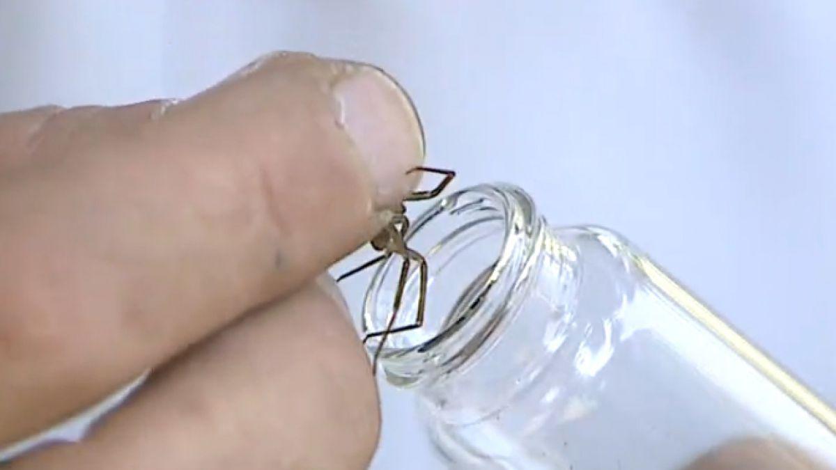 Cómo reconocer a la araña de rincón y prevenir su peligrosa mordedura